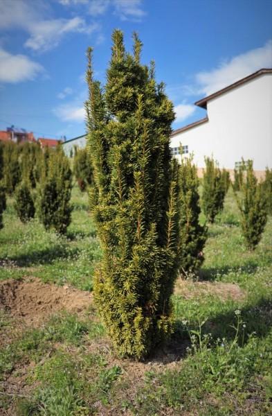 Taxus Baccata Fastigiata Auremarginata